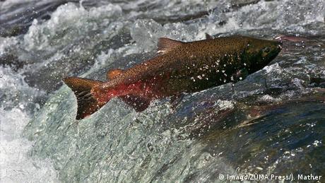Ein Lachs schwimmt stromaufwärts