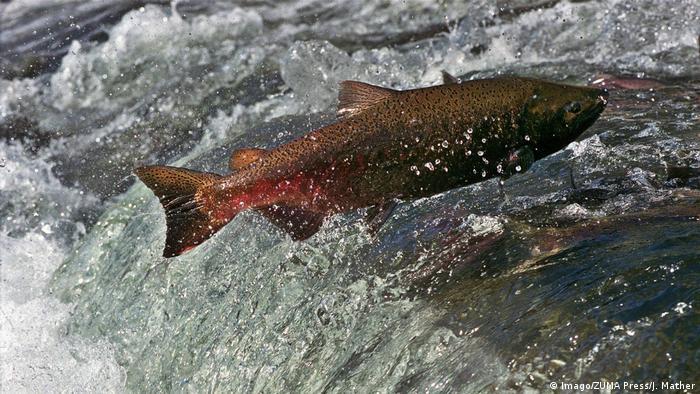Un salmón nadando contra la corriente.