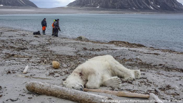Norwegen - Polarbär erschossen (picture-alliance/AP Photo/Governor of Svalbard/G. B. Arntsen)