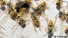 Macro Wasp Family and nest hole