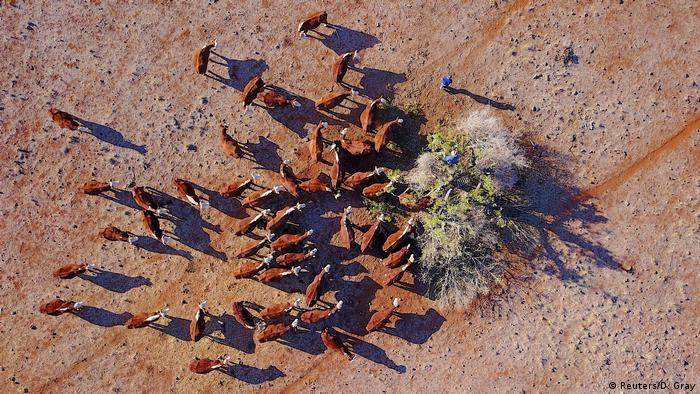 Aerial view of a farmer feeding hungry cattle feed dried branches in a barren New South Wales farm in June, 2018