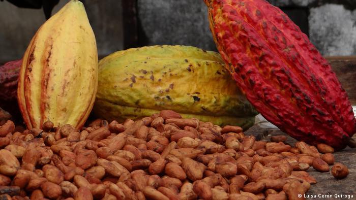 Plod kakaovca