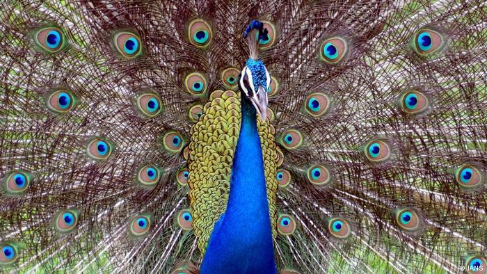 Burung merak adalah salah satu burung langka di dunia yang dilindungi. Sebagian besar jenis berasal dari India dan penyebarannya terdapat di sekitar Asia Selatan. Dahulu kala di India, burung cantik ini dipelihara untuk dijadikan santapan. Namun sejak tahun 1963, Pemerintah India menetapkan burung ini sebagai burung nasional.
