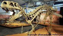 Das nachgebildete Skelett eines Afrovenator abakensis steht am Freitag (09.10.2009) in der Ausstellungshalle des Staatlichen Naturhistorischen Museums Braunschweig. In der Ausstellung Projekt Dino wird ein etwa 170 Millionen Jahre altes Skelett eines neu entdeckten ,des Spinophorsaurus nigerensis, erstmals der Öffentlichkeit vorgestellt. Den Vortritt haben dabei Kinder bis 14 Jahre. Sie dürfen bereits von Samstag (10.10.) an in die Ausstellung. Offizielle Eröffnung der bis zum 31. Januar 2010 dauernden Ausstellung ist der 21. Oktober. Foto: Holger Hollemann dpa/lni (zu lni 0417 / 0450 vom 09.10.2009) +++(c) dpa - Bildfunk+++   Verwendung weltweit