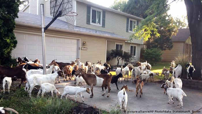 Goats in front of a house in Boise