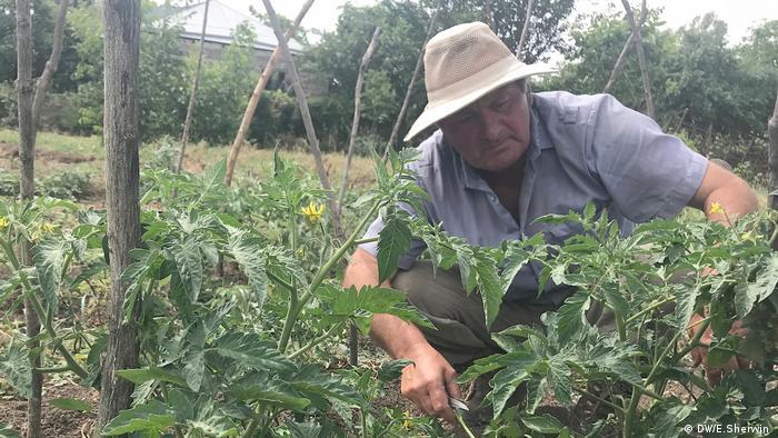 Farmer Ilya Bervashvili tends to his tomato plants in Ditsi (DW/E.Sherwin )