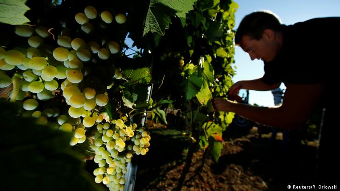 A man harvests grapes in Lörzweiler