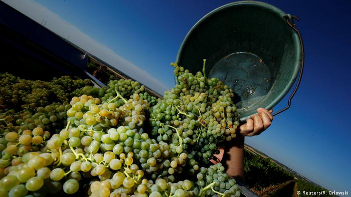 A bucket of grapes is added to a huge pile, against a dusky sky