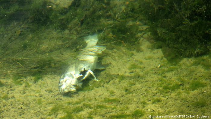 A dead fish at the bottom of the Rhine in Switzerland (picture-alliance/KEYSTONE/M. Duchene)