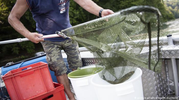 Schweiz Deutschland Fischsterben im Rhein