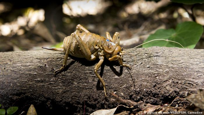 Giant weta (picture-alliance/WILDLIFE/M. Carwadine)