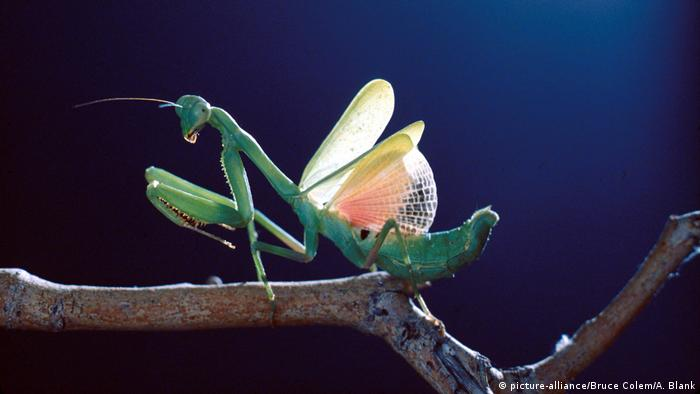Praying mantis (picture-alliance/Bruce Colem/A. Blank)