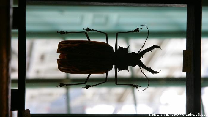 Macrodontia cervicornis beetle (picture-alliance/AFP Creative/J. Saget)