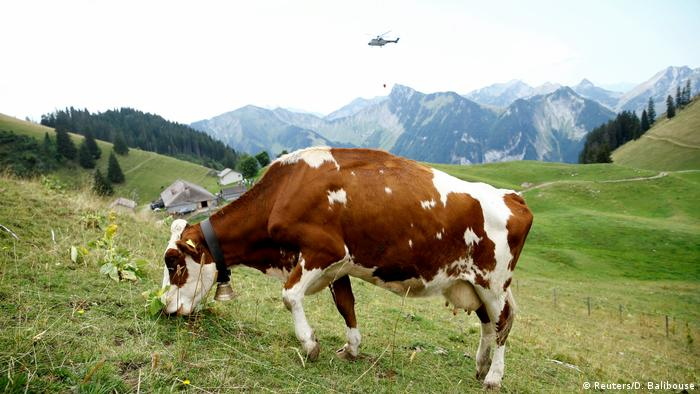 Cow with cow bell in an Alpine landscape (Reuters/D. Balibouse)