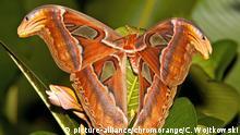 Atlas moth Schmetterling