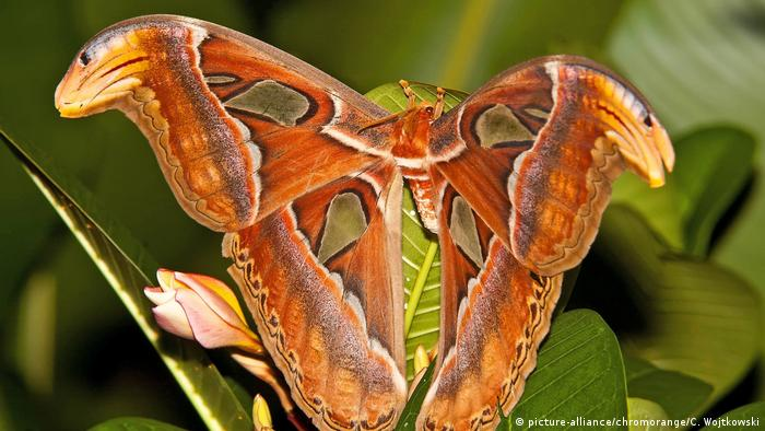 Atlas moth (picture-alliance/chromorange/C. Wojtkowski)