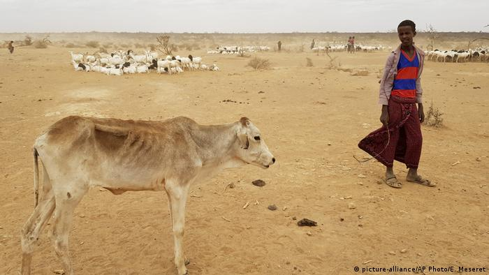 An emaciated calf stands next to a boy in Ethiopia's Somali region picture-alliance/AP Photo/E. Meseret)