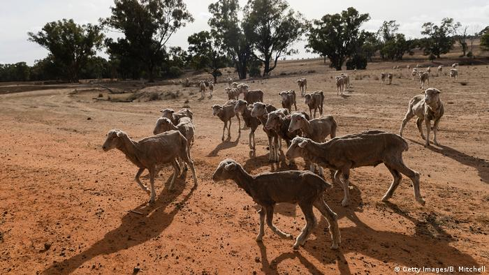 Sheep gather on the barren ground (Getty Images/B. Mitchell)
