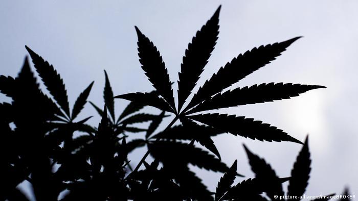 Pé de 'Cannabis sativa', da qual é obtida a maconha
