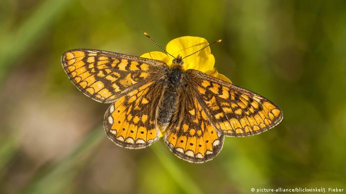 Marsh fritillary butterfly (picture-alliance/blickwinkel/J. Fieber)