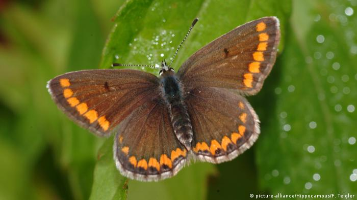 Brown argus butterfly on plant (picture-alliance/Hippocampus/F. Teigler)