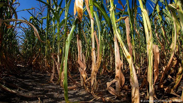 Field of drought-stricken corn