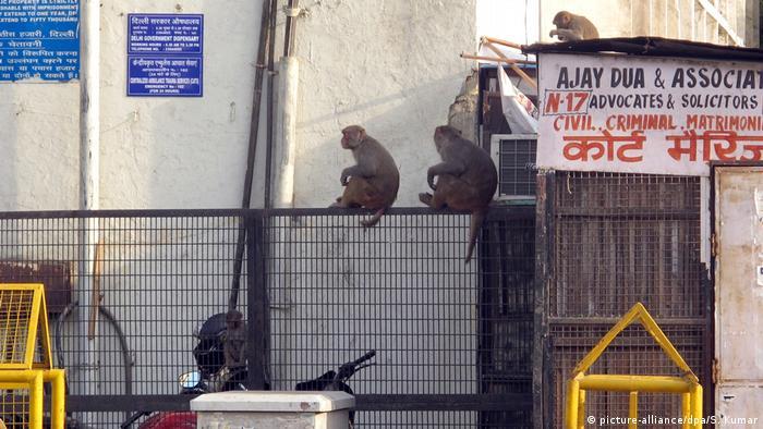 Indien - Affenplage auf den Straßen Neu Delhis (picture-alliance/dpa/S. Kumar)