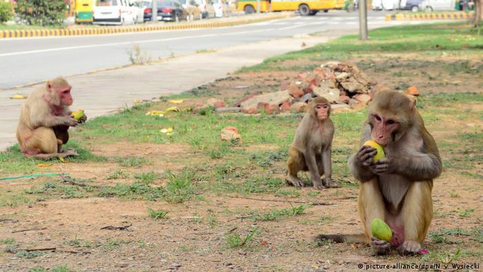 هانومان در آیین هندو پادشاه بوزینگان به شمار میرود و به همین دلیل در هند به میمونها به چشم فرزندان او نگاه میشود