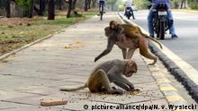 Indien - Affenplage auf den Straßen Neu Delhis