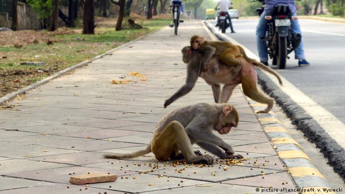 طبق قوانین هند اسیر کردن لانگور کاری خلاف قانون به شمار میرود