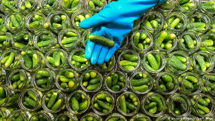 A worker holds a cucumber in their hand