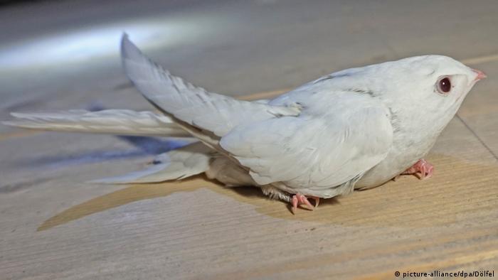 Стриж-альбинос