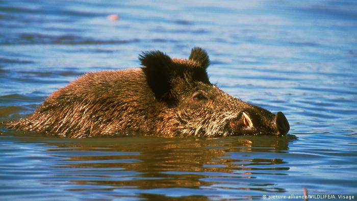 Swimming boar (picture-alliance/WILDLIFE/A. Visage)