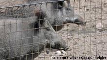 Deutschland Wildschwein am Zaun
