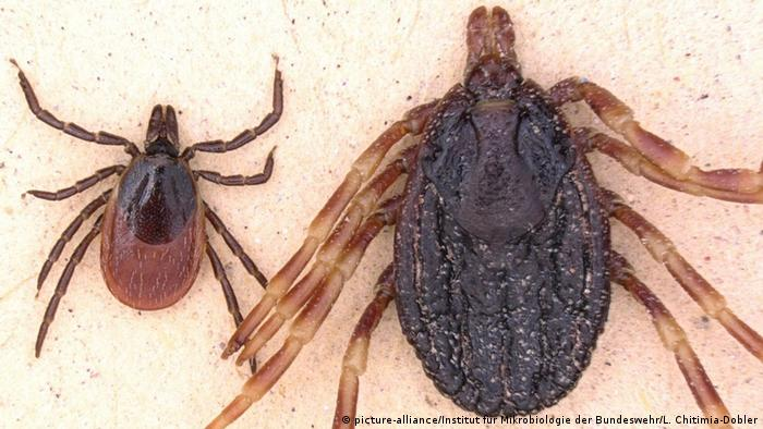 A comparison picture of the normal ticks in Germany and the new tropical one (picture-alliance/Institut für Mikrobiologie der Bundeswehr/L. Chitimia-Dobler)