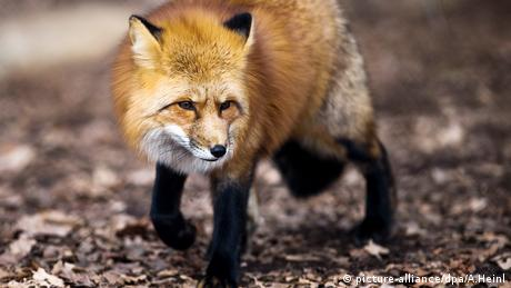 A fox walks through a forested area (picture-alliance/dpa/A.Heinl)