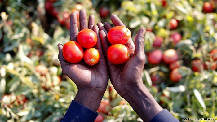 Büyük bir olasılıkla İtalya 2018 yılı itibarıyla dünyanın en büyük domates üreticilerinden biri olacak. Bu noktaya Afrikalı sığınmacılara verilen düşük ücretler olmadan gelinmesi mümkün olamazdı. Bu işçiler çoğu kez tamamen çiftçilere bağımlı durumda.