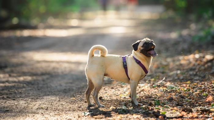 Emma the pug stands in the mottled sunlight of a forest path, wearing a fetching purple harness