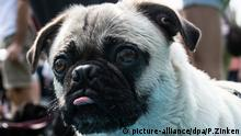 A pug stands at the 9th International Pug Meeting