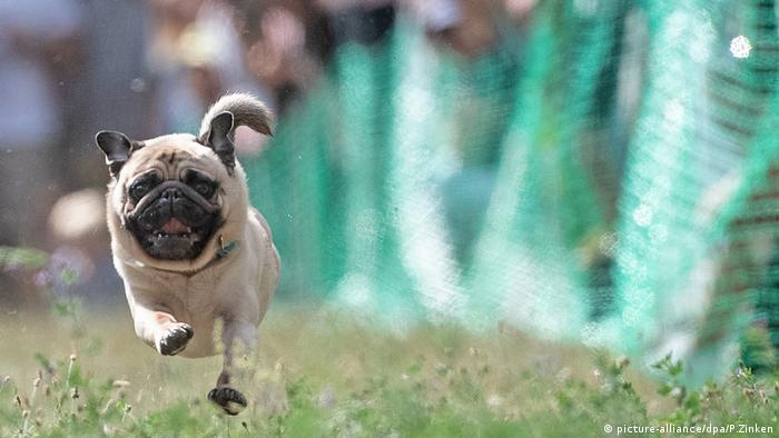 A rather stocky looking pug runs at the 2018 pug race.