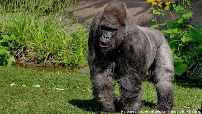 one of europe s oldest gorillas dies in german zoo news dw