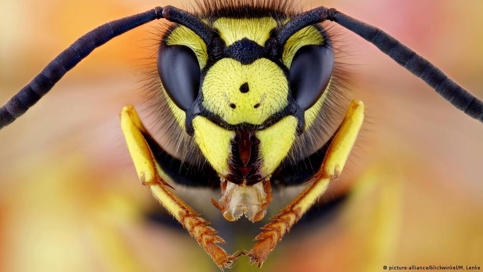 Wasps attack German school, injuring 16 kids