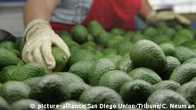 USA Kalifornien Avocados
