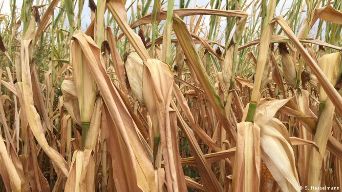 Brown and dry corn plants in a field