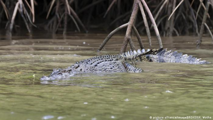 Crocodile in Daintree national apark (picture-alliance/imageBROKER/K. Wothe)