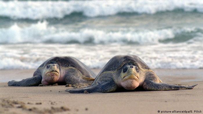 Zwei Schildkröten laufen hintereinander am Strand und frontal auf die Kamera zu. Laut Bildangabe handelt es sich um zwei pazifische Bastardschildkröten. Sie haben ausladende Flossen am Arm und im Verhältnis zum Panzer förmigen Körper einen kleinen, schmalen Kopf mit großen konkaven Augen. Am Strand vergraben die Weibchen ihre Eier.