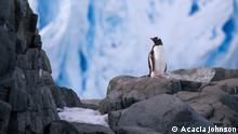 A gentoo penguin stands before a glacial face on Trinity Island, Antarctica. Gentoo penguins are one species of Antarctic wildlife whose populations are actually growing due to climate change. Taken while working as an expedition guide for Quark Expeditions.