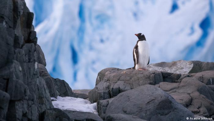 A gentoo penguin stands before a glacial face on Trinity Island, Antarctica