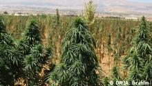 Libanon Cannabis-Anbau