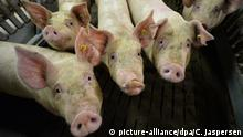 16.10.2014 ARCHIV - 16.10.2014, Niedersachsen, Lindern: Mastschweine stehen in einem Mastbetrieb im Stall. (zu dpa «Aufklärungsaktion zur Verbreitung der Afrikanischen Schweinepest» vom 15.07.2018) Foto: Carmen Jaspersen/dpa +++ dpa-Bildfunk +++ | Verwendung weltweit